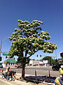 2014-06-12 10 43 09 Catalpa speciosa in flower along Nevada State Route 289 (Winnemucca Boulevard) near U.S. Route 95 (West Winnemucca Boulevard and Melarkey Street) in Winnemucca, Nevada.JPG