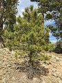 2015-04-30 16 03 04 Ponderosa Pine sapling along the Trail Canyon Trail in the Mount Charleston Wilderness, Nevada about 1.7 miles north of the trailhead.jpg