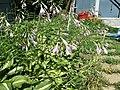 2015-07-20 12 31 30 Hosta flowers along Terrace Boulevard in Ewing, New Jersey.jpg