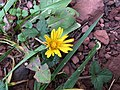 2015-12-13 16 32 25 Dandelion blossom in December along Tranquility Court in the Franklin Farm section of Oak Hill, Fairfax County, Virginia.jpg