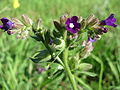 20151001Anchusa officinalis1.jpg