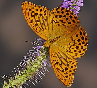 Silver-washed fritillary - Argynnis paphia, male