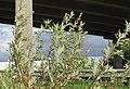 20170914Artemisia vulgaris1.jpg