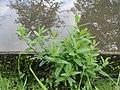20170916Scutellaria galericulata2.jpg