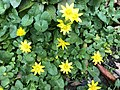 2018-04-04 12 03 58 Lesser celandine blooming on Terrace Boulevard in Ewing, New Jersey.jpg
