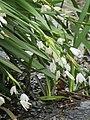2018-04-17 Summer Snowflake, (Leucojum aestivum), Sheringham common, Norfolk (2).JPG