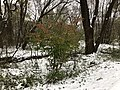 2018-11-15 07 57 40 Snow and sleet on a Euonymus along a walking path in the Franklin Farm section of Oak Hill, Fairfax County, Virginia.jpg