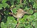 2019-10-16 Barred Warbler, St Mary's Island, Northumberland 4.jpg
