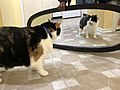 2020-01-19 18 04 37 A Calico cat reacting to a mirror in the Franklin Farm section of Oak Hill, Fairfax County, Virginia.jpg