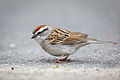 3425 Chipping Sparrow.jpg