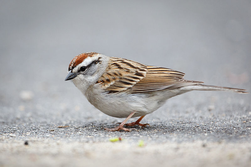 File:3425 Chipping Sparrow.jpg