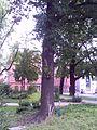 3 Stieleichen, Naturdenkmal, Franz- Mehring-Straße Gothepark-Cottbus.jpg
