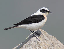 220px-45-090506-black-eared-wheatear-at-