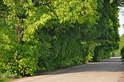 46-215-5008 Pchany Alley of Age-old Linden Trees RB.jpg