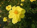 7380jfYellow flower Philippines Pandacaquifvf 04.JPG