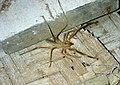 AB010 Camel Spider.jpg