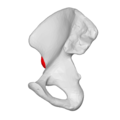 AIIS 05 medial view (Right hip bone).png