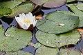 A Arnoia - Plantas acuáticas - Galiza-2.jpg