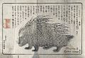 A North African porcupine (Hystrix cristata). Reproduction o Wellcome V0021573.jpg