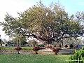 A Tree, Gitai Mandir Park, Wardha - panoramio.jpg