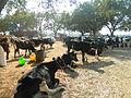 A aesthetic cattle market.JPG