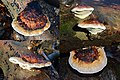 A collage of some Fomitopsis pinicola (Roodgerande houtzwam) at a beech at Warnsborn Schaarsbergen - panoramio.jpg