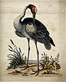 A crane standing at the shore of the sea. Coloured etching b Wellcome V0020558.jpg