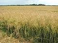A crop of ripening oilseed rape - geograph.org.uk - 1390681.jpg