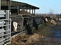 A dozen head of cattle - geograph.org.uk - 1127233.jpg
