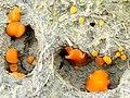 A fungus - Coprobia granulata - geograph.org.uk - 989043.jpg