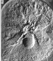 A monograph of the terrestrial Palaeozoic Arachnida of North America photos 53-59 55.png