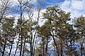 A strand of adult Virginia pine (Pinus virginiana) trees in Pennsylvania.jpg