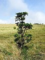 A view of a small tree in the Horton Plains National Park grassland.jpg