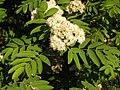 Ab plant 1720.jpg