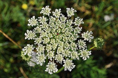 daucus carota seed oil noael