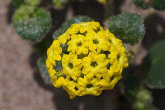 Abronia latifolia - Image: Abronia latifolia 2