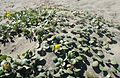 Abronia latifolia kz3.jpg