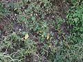 Abutilon persicum (Burm.f.) Merr. (6673630285).jpg