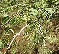 Acacia mellifera, loof en dorings, Steenbokpan.jpg