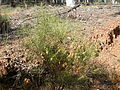 Acacia sp. (5103055989).jpg