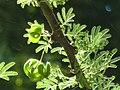 Acacia tortilis subsp heteracantha, loof en peule, Wonderboom NR, e.jpg