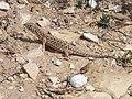 Acanthodactylus-beershebensis 20120324 4149.JPG