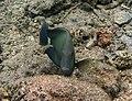 Acanthurus blochii Réunion.jpg