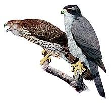 Il piumaggio di un astore giovane (sinistra) e di uno adulto (destra)