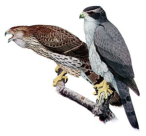 Northern goshawk - Juvenile (left) and adult by Louis Agassiz Fuertes