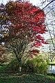 Acer palmatum 'Osakazuki' JPG2.jpg