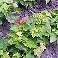 Acer platanoides seedlings 2y.jpg