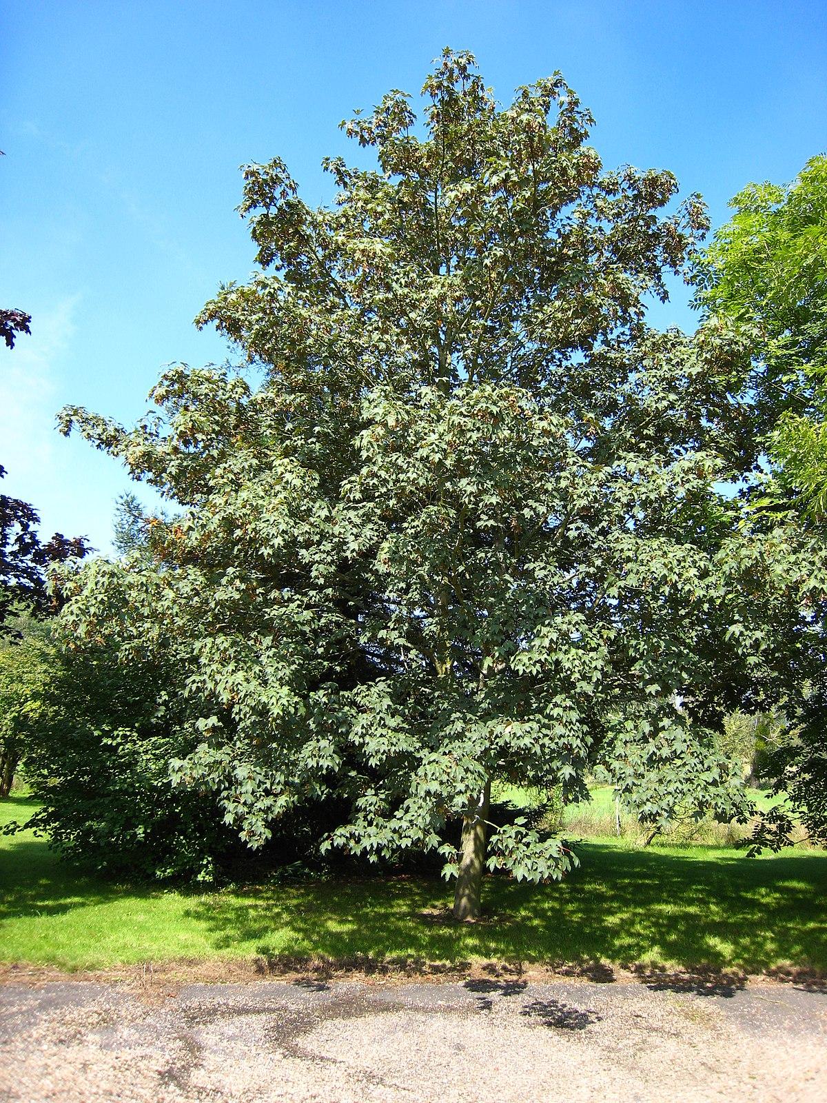 дерево явор. фото