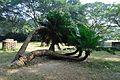 Acharya Jagadish Chandra Bose Indian Botanic Garden - Howrah 2011-01-08 9765.JPG