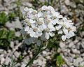 Achillea clavennae ENBLA01.jpg